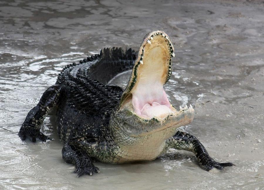 Aligator amerykański grafika