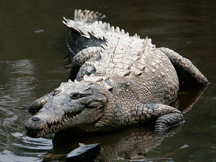 Krokodyl amerykański grafika