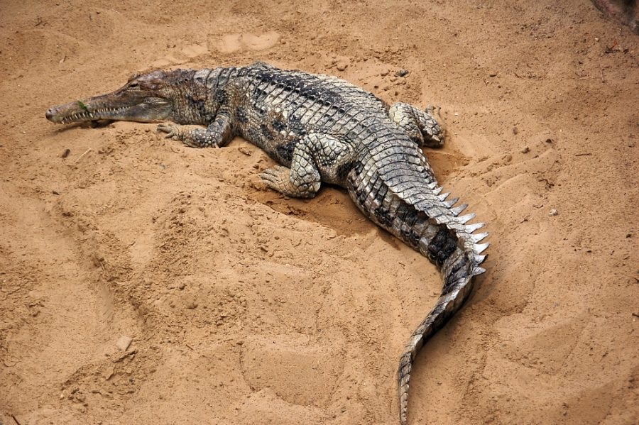 Krokodyl gawialowy grafika