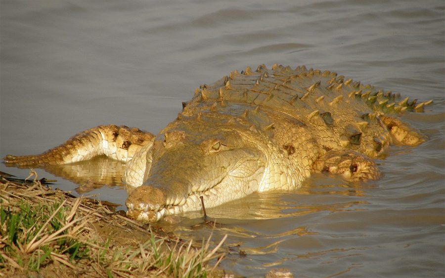 Krokodyl orinokański grafika