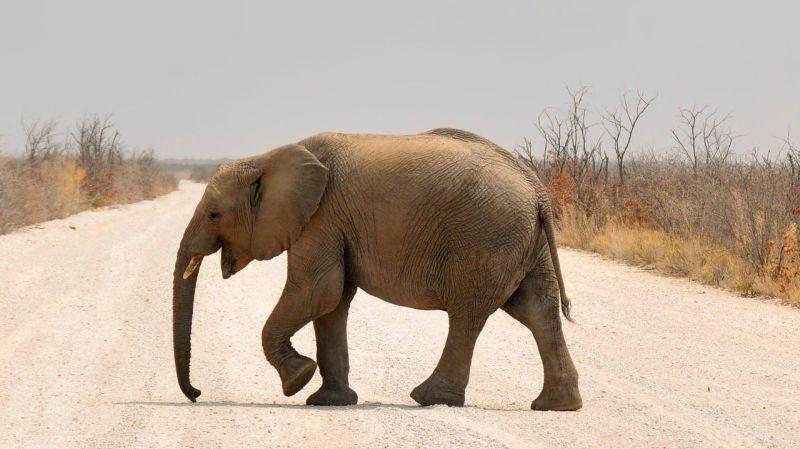 Słoń afrykański grafika