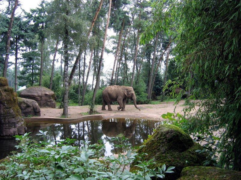 Słoń leśny grafika