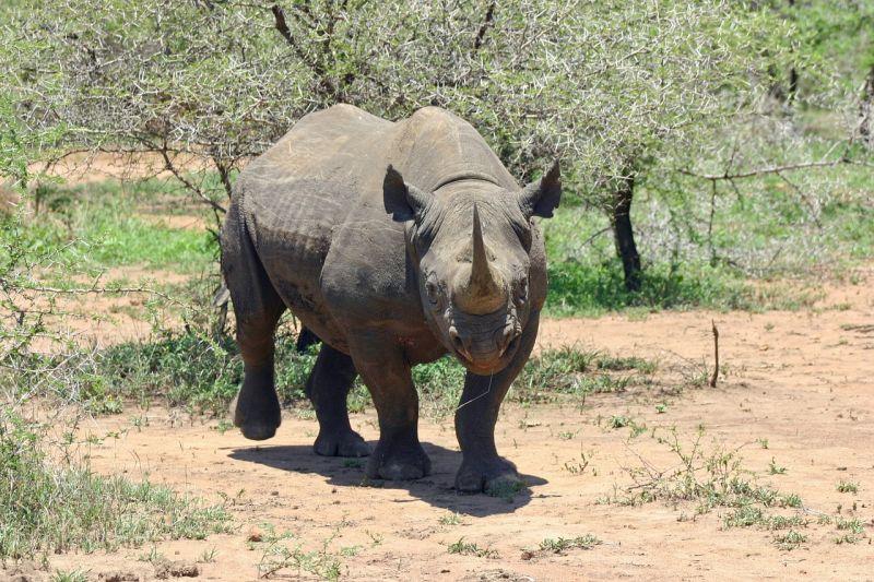 Czarny nosorożec grafika