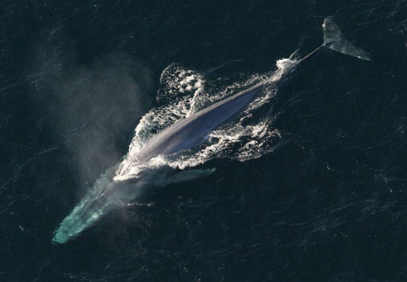 Płetwal błękitny grafika