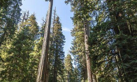 10 najwyższych drzew