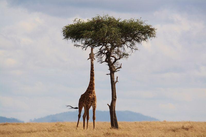 Żyrafa grafika