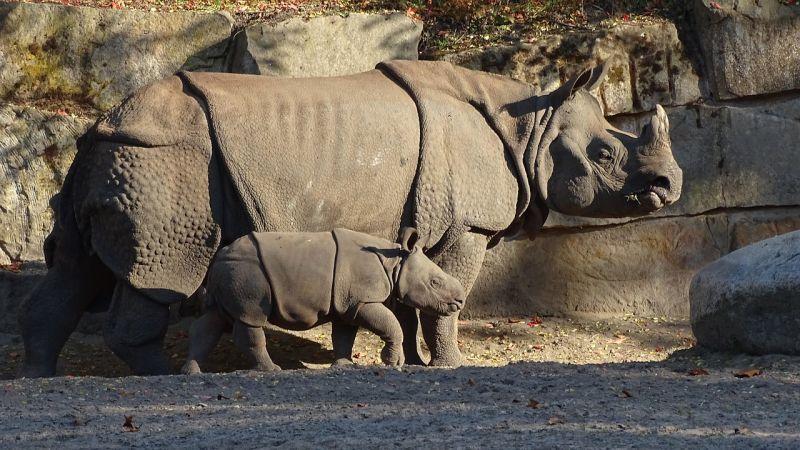 Nosorożec indyjski grafika