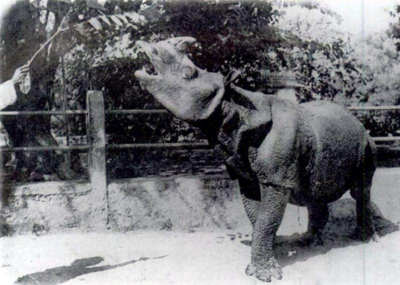 Nosorożec jawajski grafika