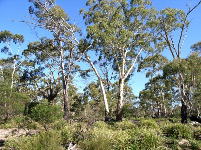 Eucalyptus viminalis (White Knight) grafika