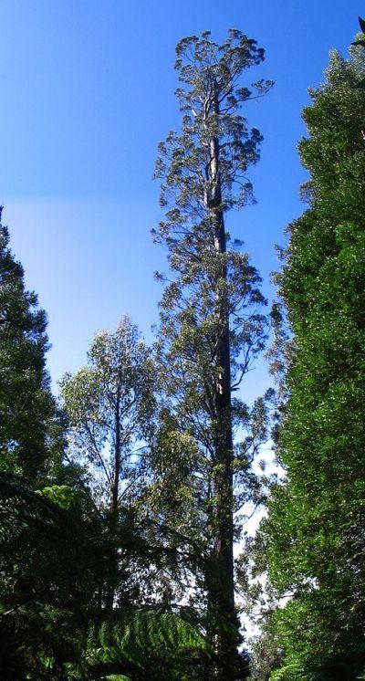 Eucalyptus Regnans (Centurion) grafika