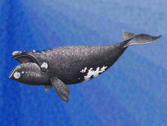 Waleń japoński grafika
