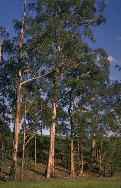 Eukaliptus gałkowy (Neeminah Loggerale Meena) grafika