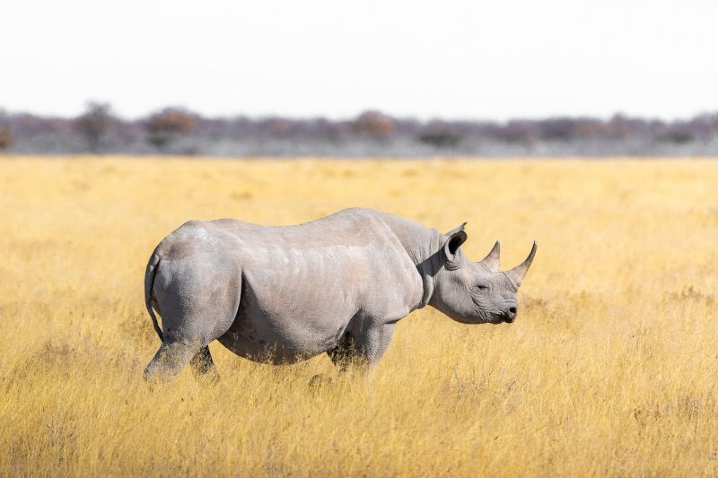 Nosorożec biały grafika
